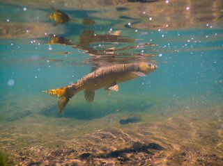 blog-Nov-23-2015-7-yellowfish-of-lesotho