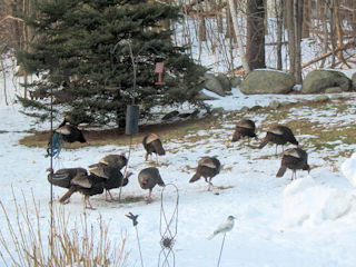 blog-Jan-25-2016-turkeys-in-nh