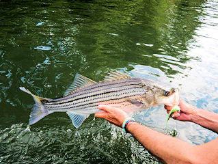 blog-May-10-2016-5-flyfishing-striped-bass