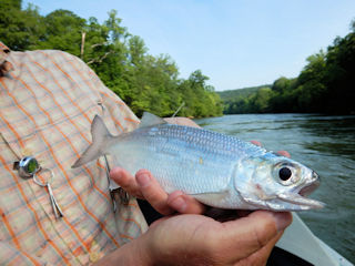 blog-May-11-2016-5-flyfishing-for-mooneye