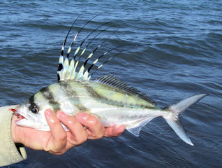 blog-May-15-2016-4-roosterfish