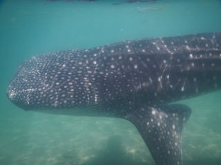 blog-May-15-2016-9-flyfishing-with-whale-sharks