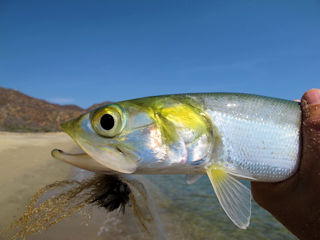 blog-May-17-2016-2-flyfishing-for-ladyfish