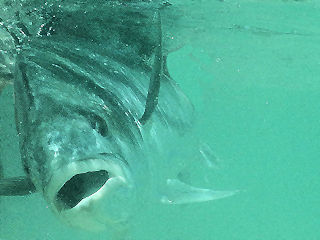 blog-May-18-2016-5-roosterfish