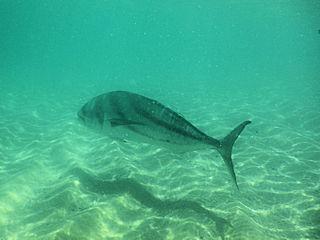 blog-May-19-2016-1-roosterfish-in baja