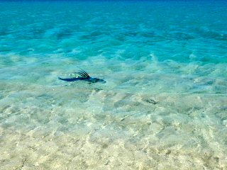 blog-May-20-2016-5-roosterfish-eating-the-fly