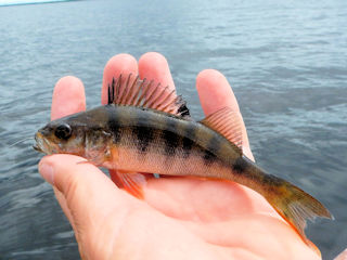 blog-June-10-2016-7-flyfishing-for-european-perch