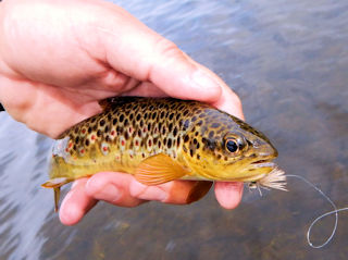 blog-June-11-2016-3-wild-brown-trout-in-ireland