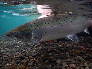 blog-aug-26-2016-6-atlantic-salmon-sela-river