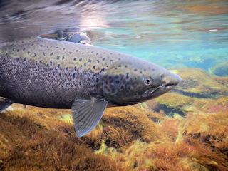 blog-aug-28-2016-12-atlantic-salmon-release