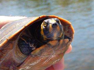 blog-Aug-6-2016-13-amazon-turtles