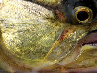 blog-Aug-6-2016-15-bicuda-fishing-the-amazon
