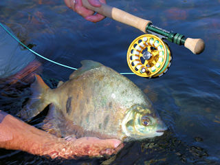 blog-July-31-2016-6-flyfishing-for-pacu-borracha