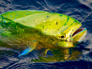 blog-sept-19-2016-3-flyfishing-for-dolphin