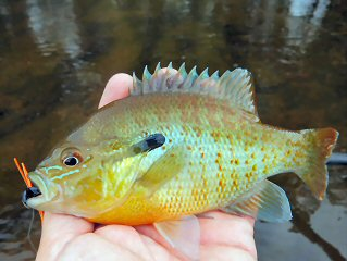blog-sept-21-2016-6-redbreast-sunfish