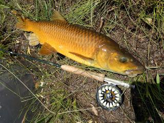 blog-nov-23-2016-8-smallmouth-yellowfish